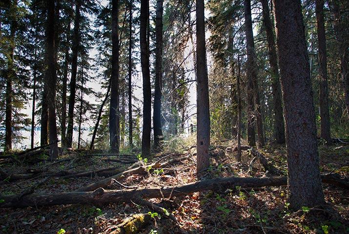 boreal forest saskatchewan