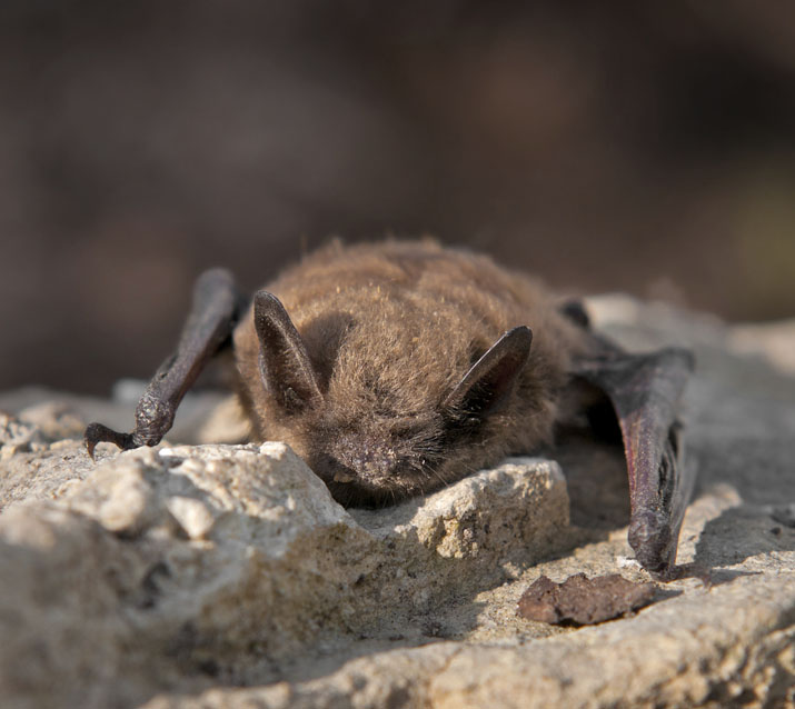 Brown bat on a rock