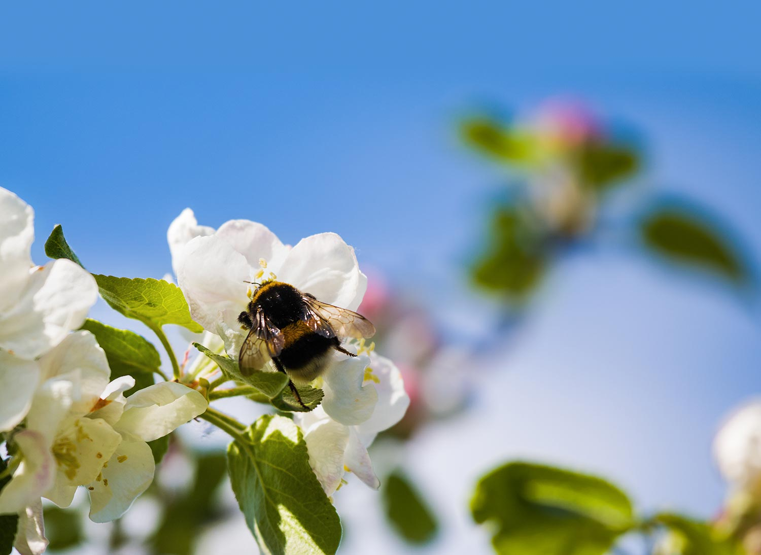 Apple blossoms with a bumblebee