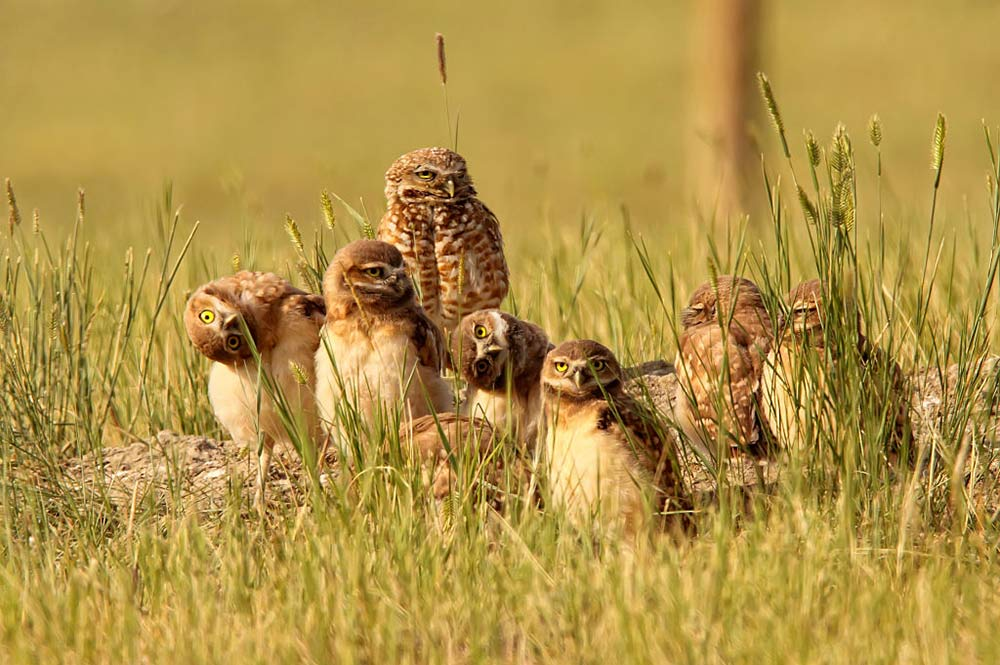 burrowing owls funny