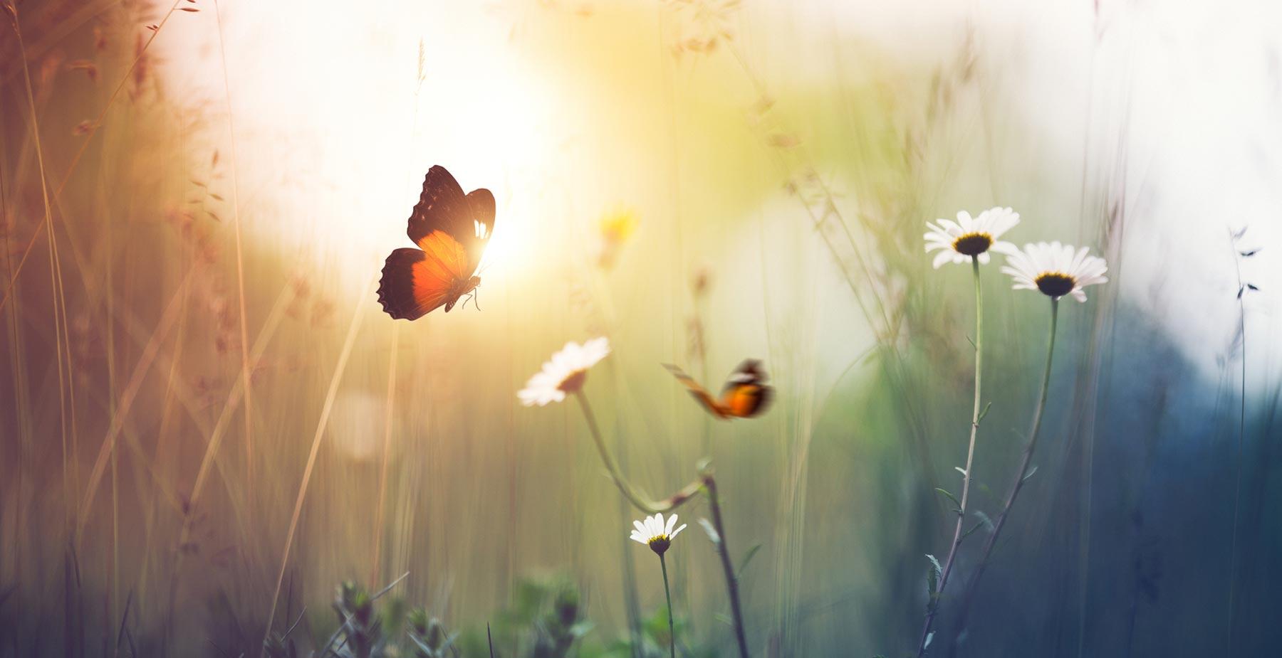butterfly field hor