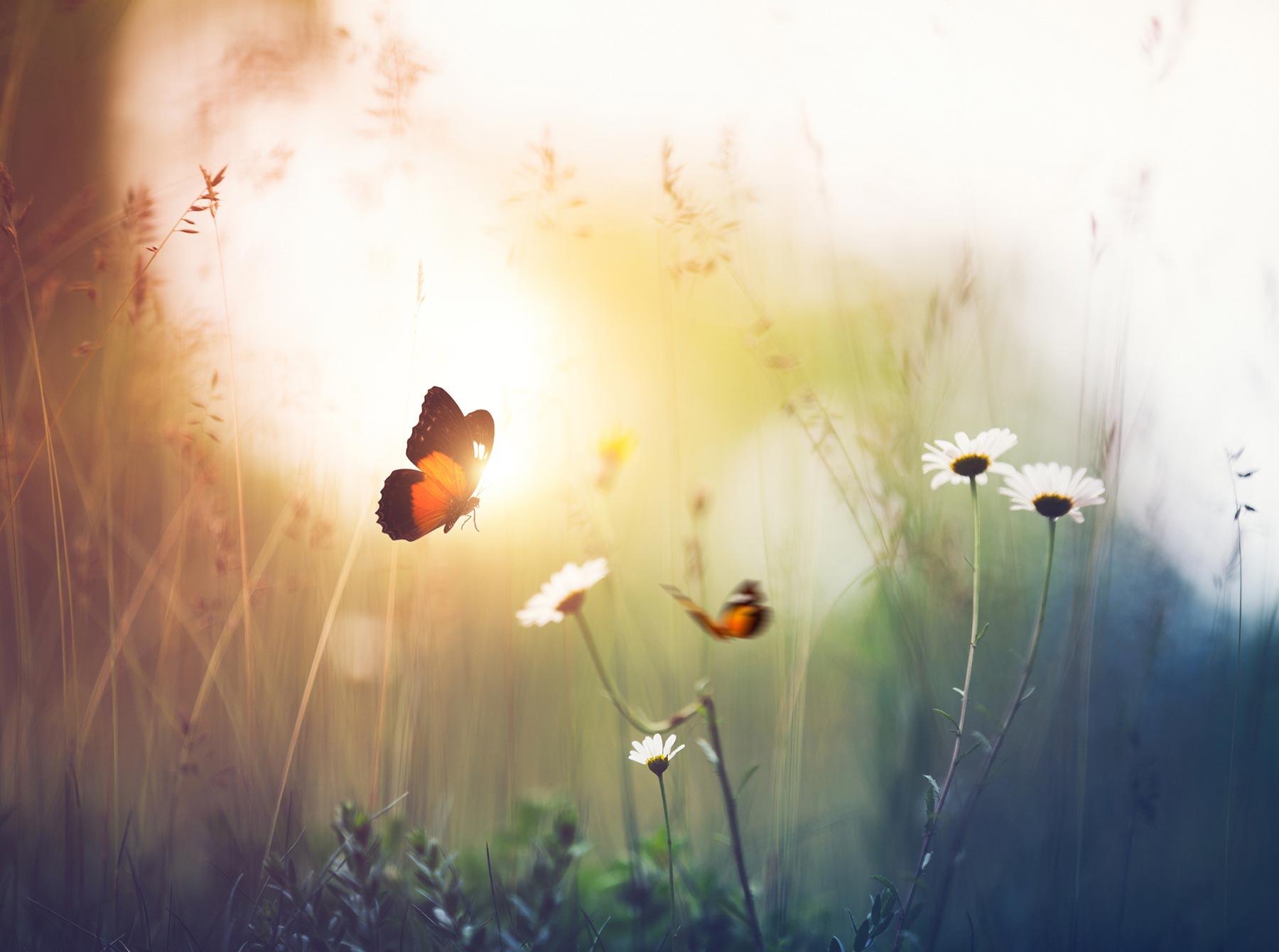butterfly field daisy