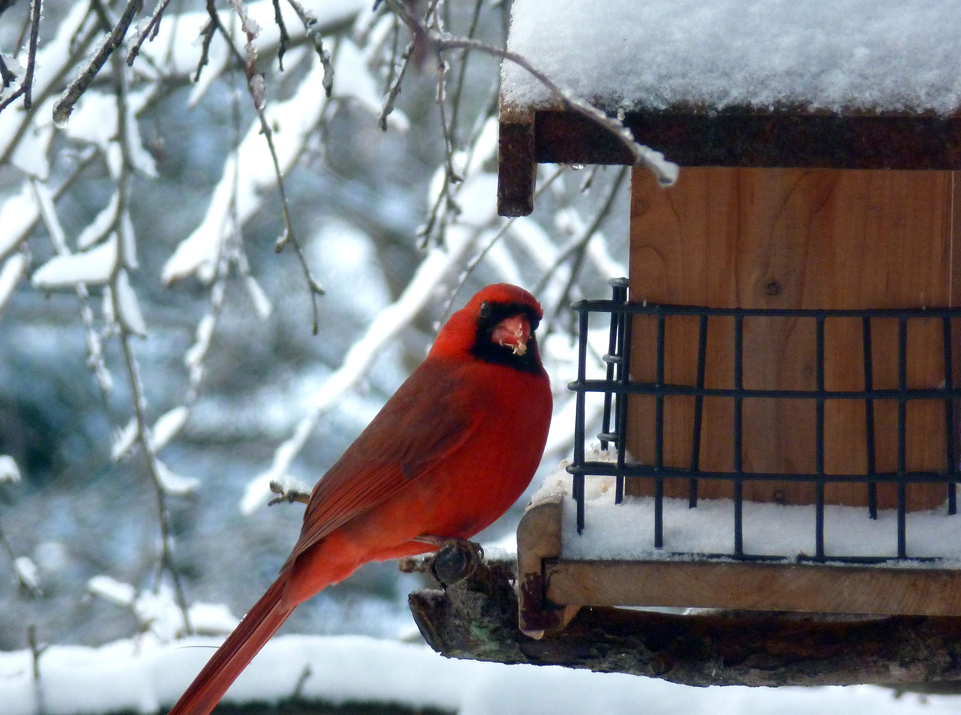 cardinal,bird, red, outdoor, snow, garden
