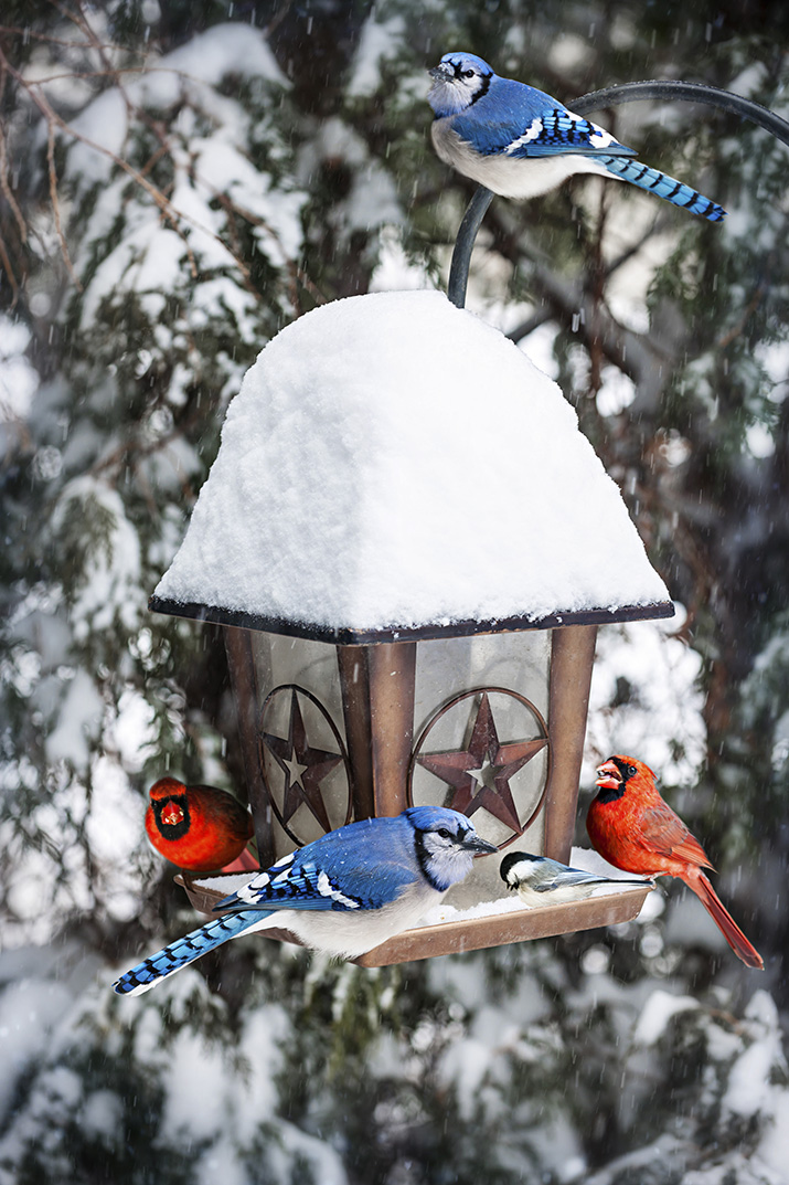 Cardinal and Blue jay feeding from snowy bird feeder