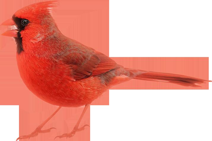 Image of cardinal