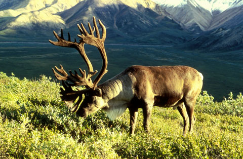 Caribou grazing in a field