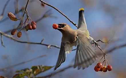 cedar-wing-bird-lauren-nicholl
