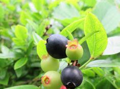 food green berries branch black ON