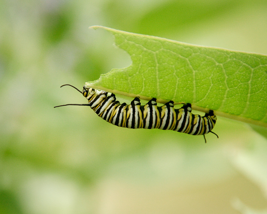 Food Monarch caterpillar food