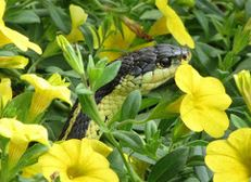 Wild visitors snake yellow flowers black ON