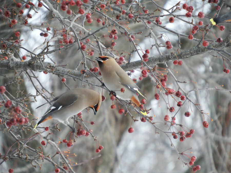Visitor Bohemian Waxwings Winter Gallinger ON