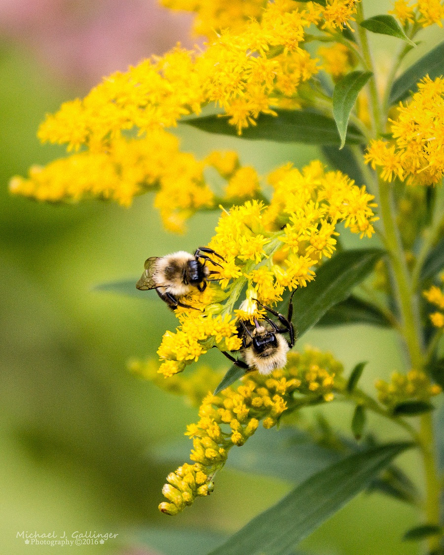 visitor bumble bee golden rod