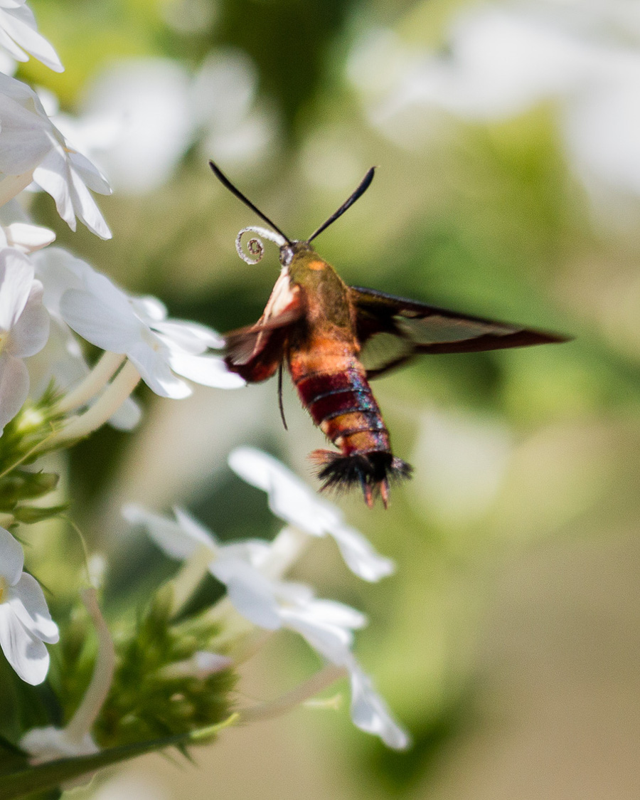 visitor hummingbird moth