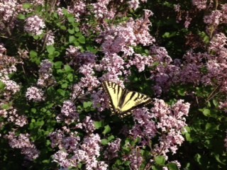 yellow butterfly lilac