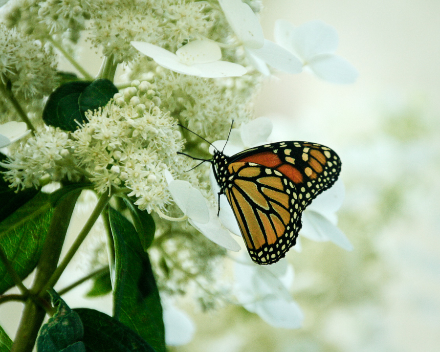 visitor monarch hydrangea Gallinger ON
