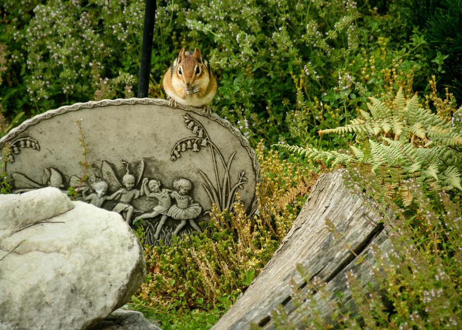 visitor chipmunk garden