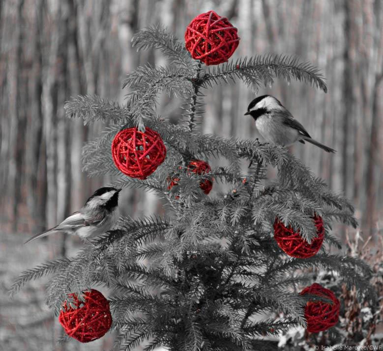 Chickadees in a christmas tree