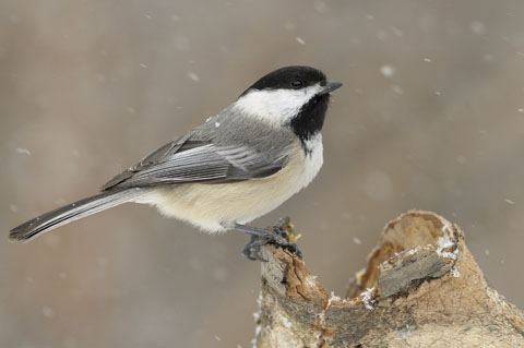 Chickadee standing on a tree stump