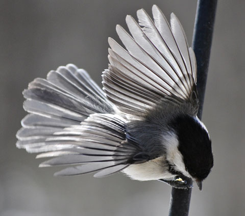 Chickadee with wings spread out