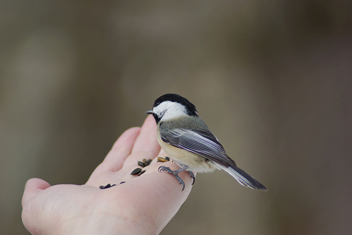 Chickadee eating from someone's hand