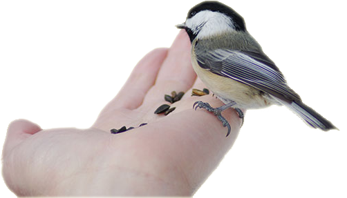 Chickadee eating out of a hand