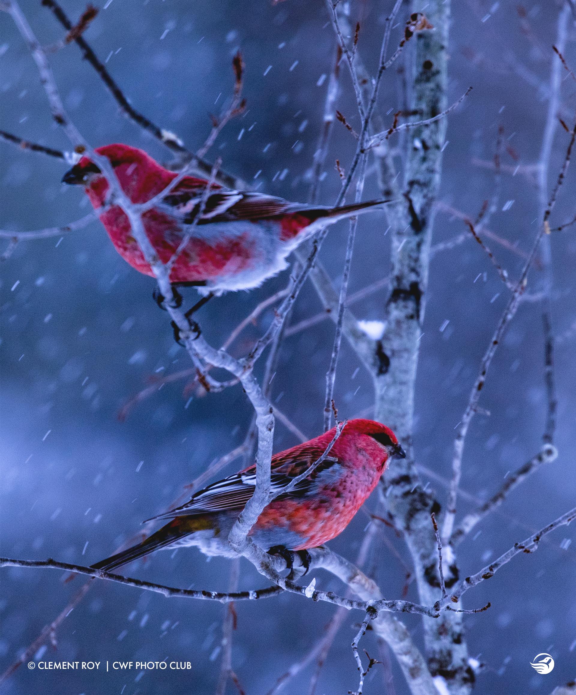 clement-roy-birds-winter-snow