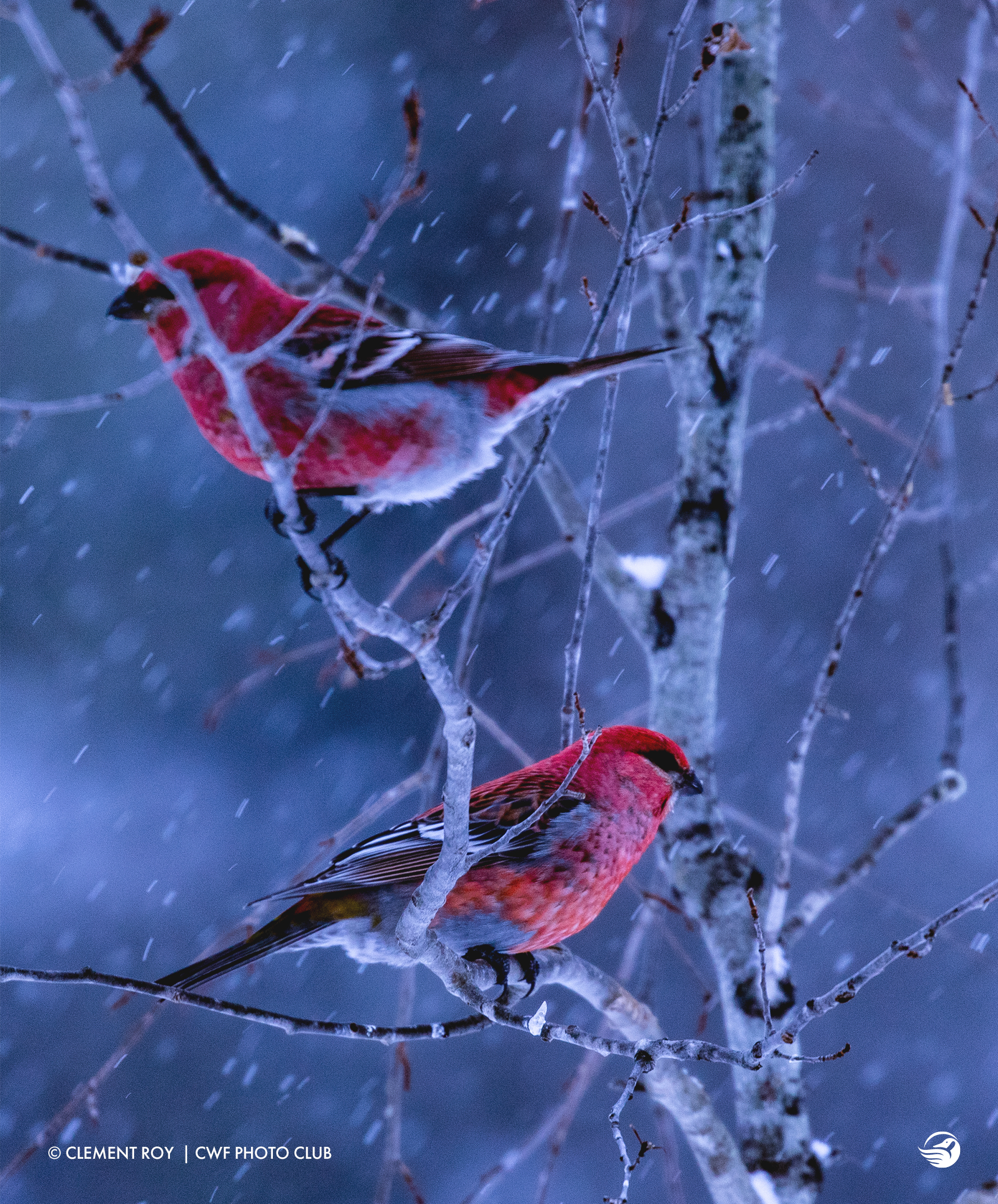 clement-roy-birds-winter-snow