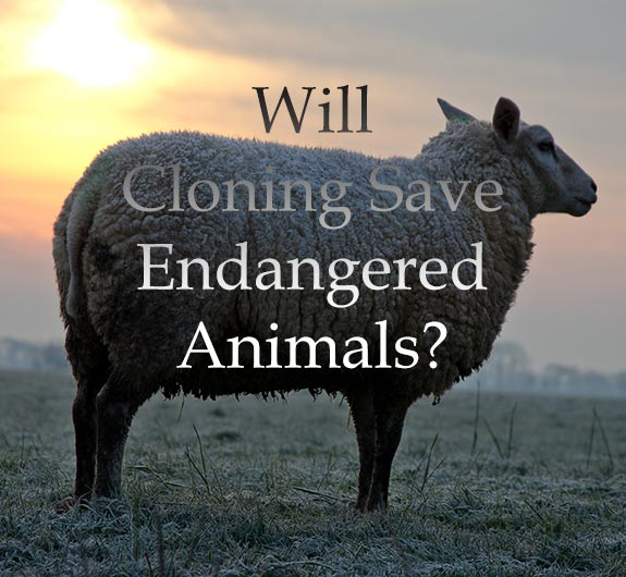 cloning animals essay Cloning essay cloning many people associate it with science-fiction novels, not with real life, but animal cloning is a process that is being attempted today all over the world, and human cloning might be next.