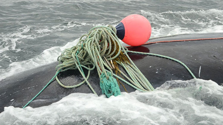 Whale caught in rope