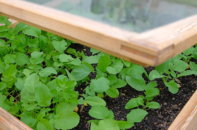 Seedlines growing in a cold frame