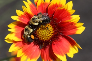 bees on gaillardia