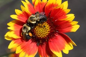 bees on gaillardia