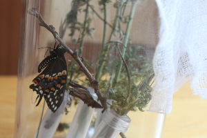 black swallowtail butterfly in jar