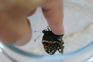 black swallowtail on finger