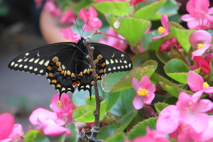 black swallowtail underneath view