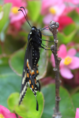 black swallowtail side view