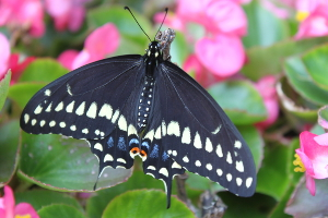 black swallowtail top view