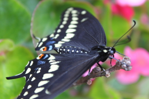 black swallowtail feathery area by back