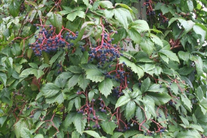 Virginia creeper berries - 300px