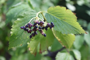 arrowwood viburnum berries
