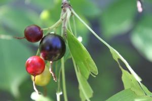 golden currant berries
