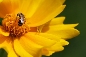 coreopsis with bee and spider