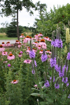 echinacea and verbena