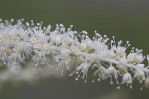 goatsbeard flowers