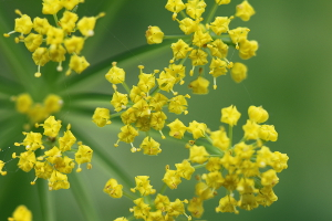 golden Alexanders flowers up close