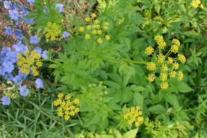 golden Alexanders and flax