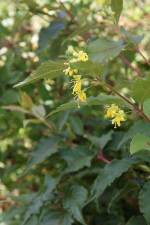 dwarf bush honeysuckle