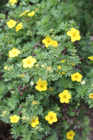 This week in our garden your connection to wildlife potentilla potentilla is a small shrub that bears yellow flowers mightylinksfo