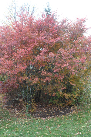 serviceberry fall foliage
