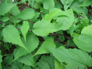 white wood aster leaves